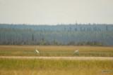 Whooping Cranes, Wood Buffalo National Park