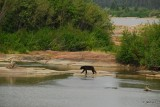Black Bear on the Slave River, Fort Smith, NT