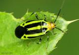 Four-lined Plant Bug Poecilocapsus lineatus
