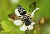 Flower Fly Temnostoma balyras