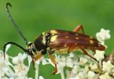 Longhorned Beetle Typocerus velutinus