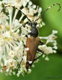 Longhorned Beetle Brachyleptura rubrica