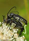 Longhorned Beetle Typocerus lugubris