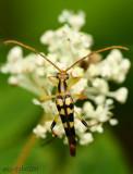 Longhorned Beetle Strangalia luteicornis
