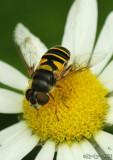 Flower Fly Eristalis transversa