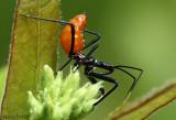 Wheel Bug lymph Arilus cristatus