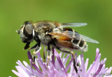 Hover Fly Syrphid Fly