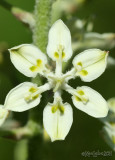 Virginia Bunchflower