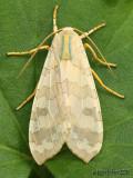 moths 6 Tussock 8033 - 8879