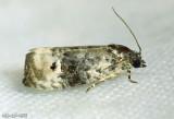 Pink-washed Leafroller Moth Metendothenia seperatana #2860