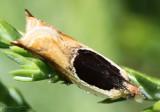 Oak Leaffolder Moth Ancylis burgessiana #3367