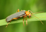 Soldier Beetle Cantharidae