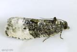 Green Budworm Moth Hedya nubiferana #2862