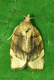 Barred Fruit-tree Tortrix Moth Pandemis cerasana #3592