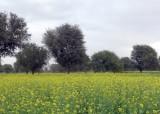 A Field of Mustard Plants