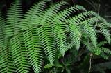 Feb122012_6848 fern forest bolivia.jpg