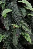 Feb122012_6856 fern forest bolivia.jpg