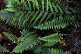 Feb122012_6860 fern forest bolivia.jpg