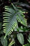 Feb122012_6891 fern forest bolivia.jpg