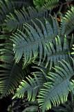 Feb122012_6892 fern forest bolivia.jpg