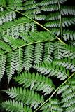 Feb122012_6930 fern forest bolivia.jpg