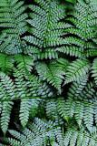 Feb122012_6932 fern forest bolivia.jpg