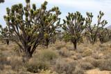 Joshua Trees-Mojave Desert