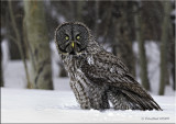 Great Grey in the snow.jpg