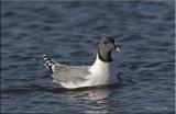 Sabine's Gull.jpg