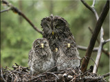 GG and 3 owlets.jpg