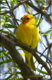 Saffron Finch.jpg