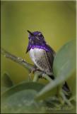 Male Costa's Hummingbird.jpg