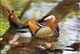 Mandarin Duck3.jpg