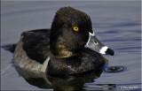 Ring-necked Duck.jpg