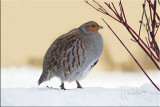 Grey Partridge .jpg