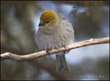 Pine Grosbeak female 2.jpg