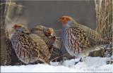 Grey Partridge covey.jpg