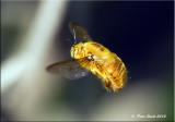 Bee maui.jpg