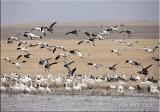 snow geese .jpg