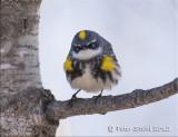 Yellow -rumped warbler.jpg