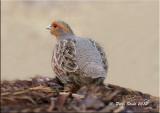 Grey Partridge.jpg