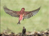 Purple Finch Mating Display and Dance.jpg