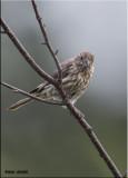 Common House finch female.jpg