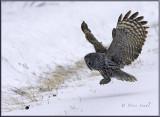 Great grey prey in sight-Edit.jpg