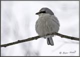 Northern Shrike.jpg