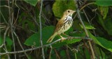 Ovenbird (Seiurus aurocapillus)