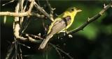 Summer Tanager - Female (Piranga rubra)
