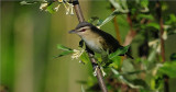 Red-eyed Vireo (Vireo olivaceus )