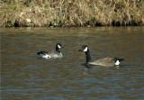 Canada Cackling Goose (Branta hutchinsii)