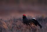 Black Grouse (Tetrao tetrix)